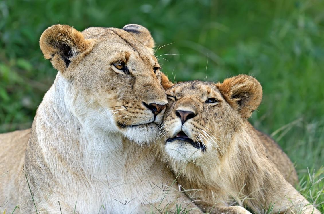 Lions in Masai Mara