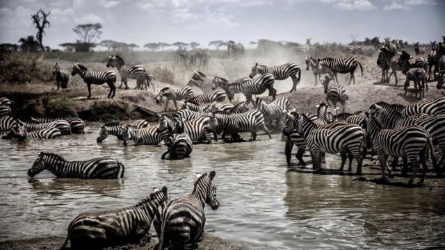 Herd of zebra crossing the river in the serengeti
